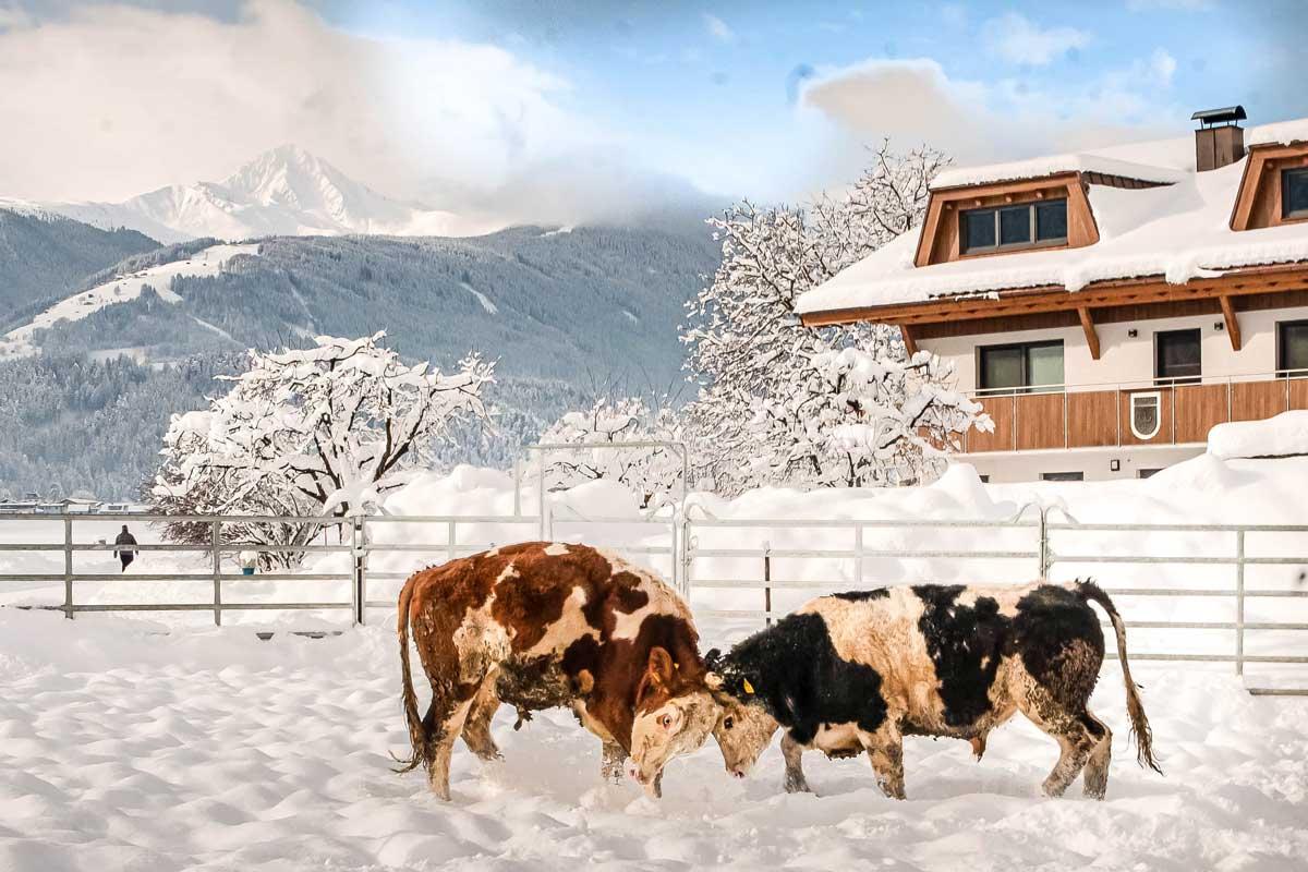 Die Ochsen lieben das Spiel in der Winterlandschaft