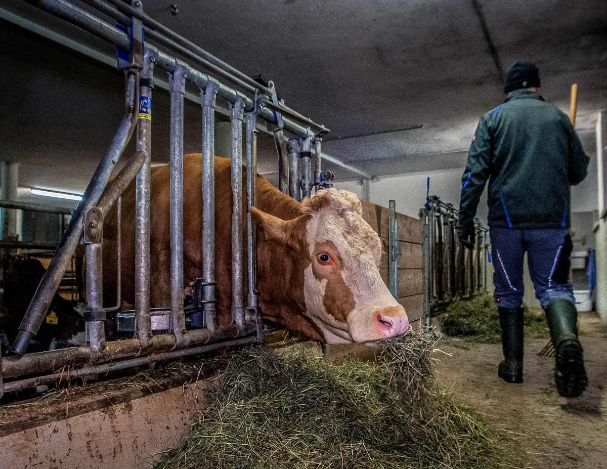 Es geht ihnen sehr gut: Den Kühen und Kälbern bei Viktor Feichtner am Kassl-Hof in Kematen/Tirol